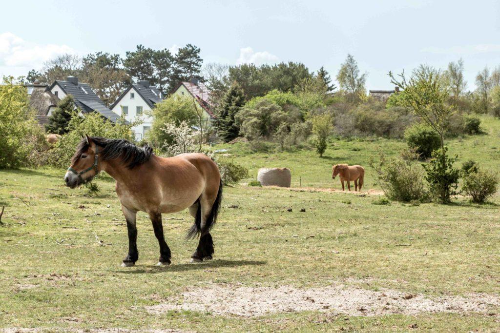 Konie na Hiddensee